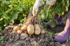 Händer av den kvinnliga trädgårdsmästaren Pull Fresh Potatoes från jordning royaltyfri bild