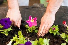 Händer av den manbondePut Seedling Flowers petunian i trädgård royaltyfri bild