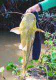 Händer av en fiskare som rymmer en fisk bekant som Jau Fotografering för Bildbyråer