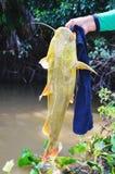 Händer av en fiskare som rymmer en fisk bekant som Jau Arkivfoto