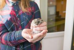 Händer av en flicka som rymmer en liten hamster fotografering för bildbyråer