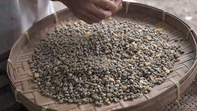 Händer av en gammal kvinna som sorterar till och med arabicakaffebönor i den runda vide- tröska korg- eller bambusikten, kvalitet arkivfilmer