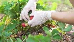 Händer av en kvinna i rubber handskar som samlar jordgubbar i trädgården Skörd arkivfilmer