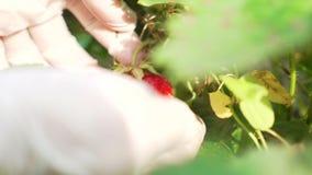 Händer av en kvinna i rubber handskar som samlar jordgubbar i trädgården Skörd lager videofilmer