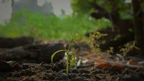 Händer av kvinnan som planterar fröt på jord som malas och bevattnas med det omgivande ljudet för natur