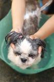 Händer den rengörande Shih Tzu hund Royaltyfria Foton