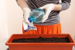 Händer för kvinna` s i handskar häller av tomaten och peppar som planteras i plast- krukor Plantera plantor i en kruka Royaltyfri Bild