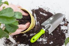 Händer för kvinna` som s transplanterar växt a in i en ny kruka Hem- arbeta i trädgården förflyttande husväxt arkivbild