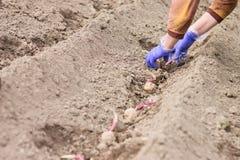 Händer i handskar som planterar potatisen in i jordningen Arkivbilder