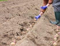 Händer i handskar som planterar potatisen in i jordningen Arkivfoto