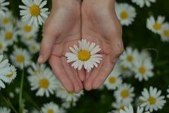 Händer med en tusensköna Royaltyfria Bilder