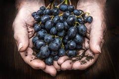 Händer med klungan av svarta druvor som brukar Arkivfoto