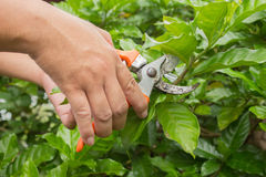 Händer med pruner i trädgården Arkivfoto
