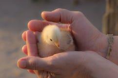 Händer och fågelunge Royaltyfri Foto