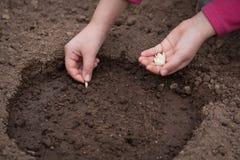 Händer planterar kärnar ur av squash på jordning i trädgård arkivfoton