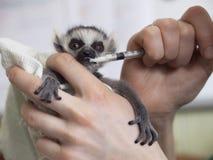 Händer rymmer en behandla som ett barn cirkel-tailed maki, makicatta och matar den från en injektionsspruta Royaltyfria Bilder