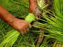 Händer som klipper ris royaltyfri fotografi