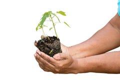 Händer som planterar det unga papayaträdet Royaltyfria Bilder