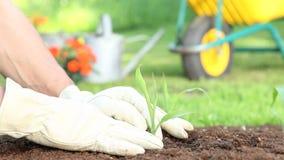 Händer som planterar en planta i jordningen stock video