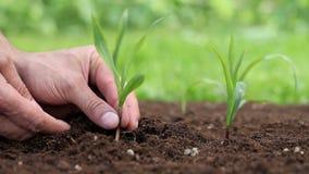Händer som planterar en planta i jordningen lager videofilmer