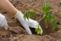 Händer som planterar plantan av tomaten i grönsakträdgården Arkivbild