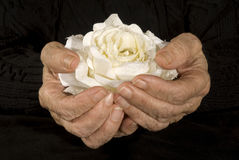 händer som rymmer den gammala rosen vit Royaltyfri Bild