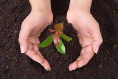händer som rymmer den mänskliga växten Royaltyfri Foto