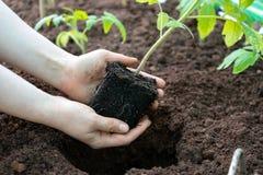 Händer som rymmer den unga gröna plantan av tomatväxten arkivfoto
