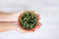 Händer som rymmer en kruka med grönt gräs Royaltyfri Bild