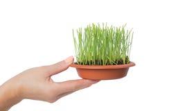 Händer som rymmer en kruka med grönt gräs Royaltyfri Foto
