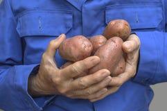 Händer som rymmer en potatis arkivfoto