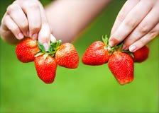 händer som rymmer jordgubbar Fotografering för Bildbyråer