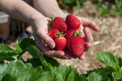 händer som rymmer jordgubbar Arkivfoto