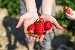 händer som rymmer jordgubbar Arkivbild