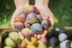 Händer som rymmer nya fikonträd fotografering för bildbyråer