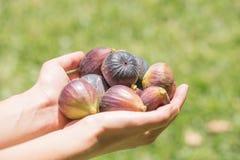 Händer som rymmer nya purpurfärgade fikonträd arkivfoto