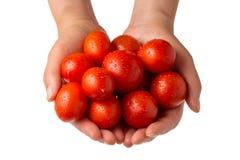 Händer som rymmer nya tomater mot vit bakgrund Royaltyfri Bild