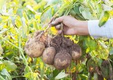 Händer som skördar den nya organiska potatisen Arkivfoto