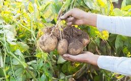 Händer som skördar den nya organiska potatisen Arkivbild