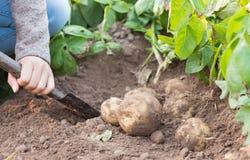 Händer som skördar den nya organiska potatisen Fotografering för Bildbyråer