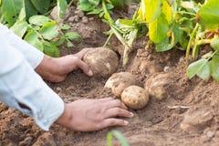 Händer som skördar nya organiska potatisar Arkivbild