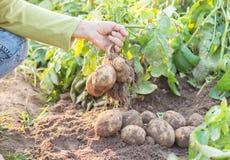 Händer som skördar nya organiska potatisar Royaltyfri Bild