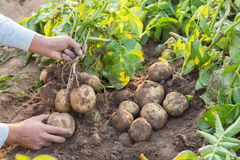Händer som skördar nya organiska potatisar Royaltyfria Foton