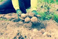 Händer som skördar nya organiska potatisar Fotografering för Bildbyråer