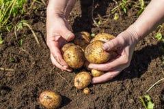 Händer som skördar nya potatisar från jord Fotografering för Bildbyråer