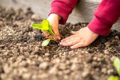 Händer som transplanterar en grön planta för barn Royaltyfri Fotografi