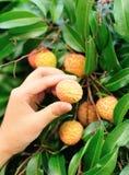 Händer som väljer litchiplommonet, bär frukt på träd arkivfoton