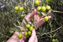 Händer som väljer oliv Arkivbild