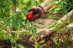 Händer som väljer tomaten i trädgården Royaltyfria Bilder