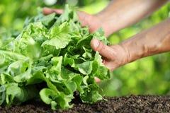 Händer som väljer upp grönsallat, växt i grönsakträdgården, slut Royaltyfri Bild